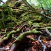 Uvas Canyon Mossy Branches by AliTalley