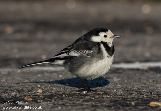 pied wagtail on pentax q