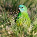 Red_rumped_parrot_IMG_0688