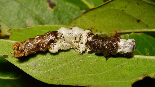 Grotesquely Elaborate Moth Caterpillar, possibly Hooktip Moth (Drepanidae)