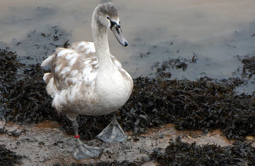 Cygnet waddling on bank of River Tweed in Berwick upon Tweed