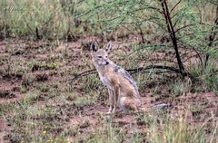 A Fox we spotted on early morning wildlife Game Drive at the Pilanesberg National Park