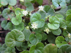 annual plant, flower, leaf, plant, herb, flora, green, watercress, centella, groundcover,