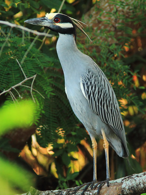 Yellow-crowned Night-Heron 20130128