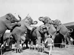 Trainer Walter McClain and his elephants at the Ringling Circus: Sarasota, Florida