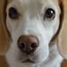 my beagle MeL by Betolandia