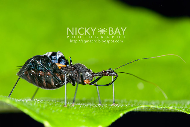 Assassin Bug (Reduviidae) - DSC_1341