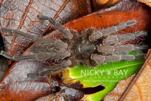Tarantula (Phlogiellus inermis) - DSC_8199