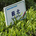 Le théier japonais Yabukita est testé en sol chinois à la TRI