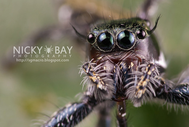 Jumping Spider (Salticidae) - DSC_7294