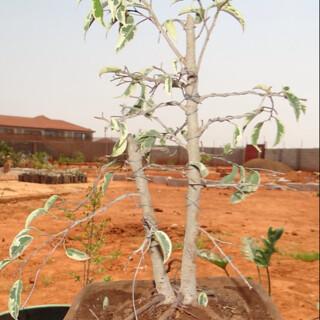 First bonsai help! 8082008461_133d5b45f0