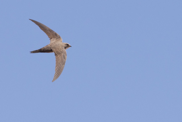 Alpine swift 3