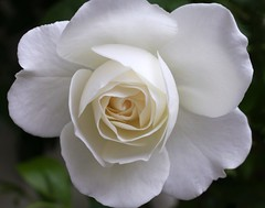 """Rose """"withe open"""""""