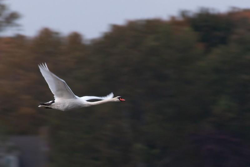 Panning Swan