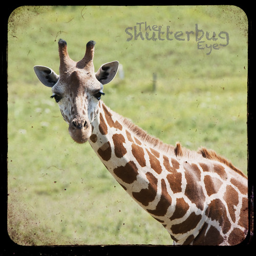 Giraffe Portrait 2 by The Shutterbug Eye™