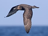 Pomarine Skua, Scilly pelagic, 12-Aug-12 by Dave Appleton