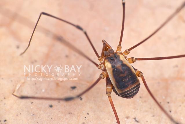 Harvestman (Opiliones) - DSC_3143