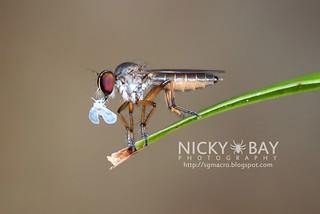 Robberfly (Asilidae) - DSC_2915
