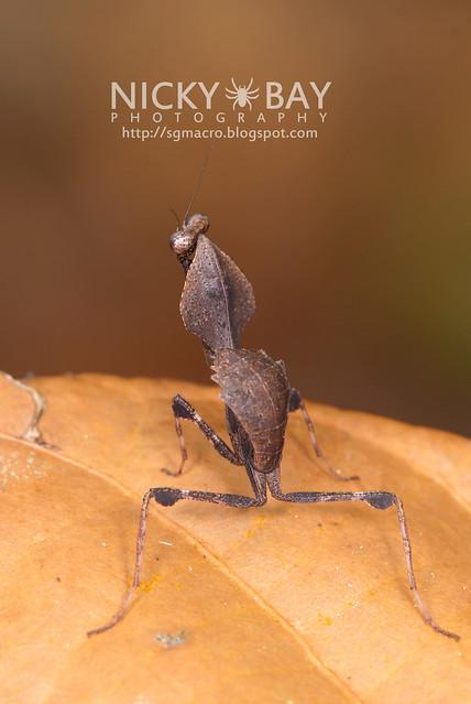 Dead Leaf Mantis? (Deroplatys sp.?) - DSC_2279
