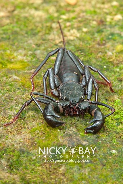 Whip Scorpion (Thelyphonida) - DSC_2268