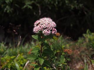 玉山繡線菊