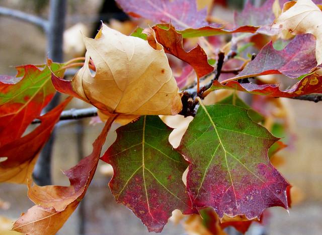 Scarlet Oak Leaves