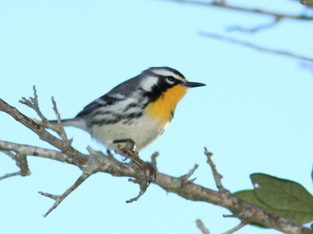 Yellow-throated Warbler 20121022