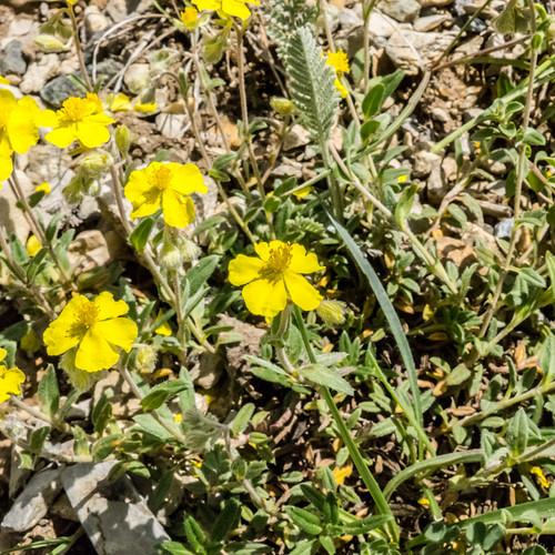 europe armenia wildplants cistaceae peterphoto gegharkunik helianthemumcanum
