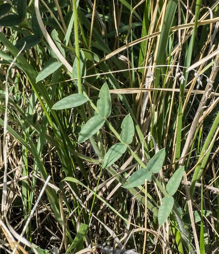 europe armenia fabaceae wildplants tsapatagh peterphoto gegharkunik astragalusfabacea onobrychismichauxii
