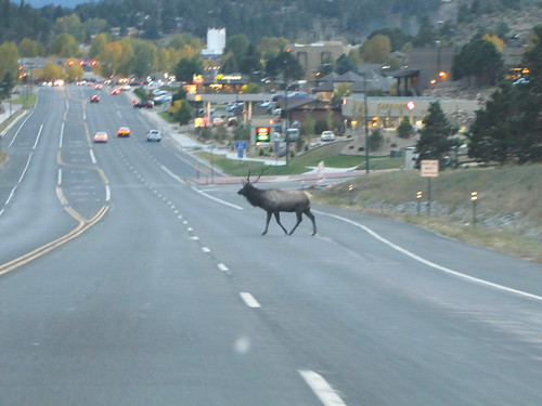 IMG_6388_Bull_Elk_in_Estes_Park_CO