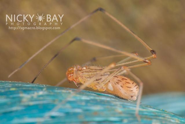 Spitting Spider (Scytodidae) - DSC_0940