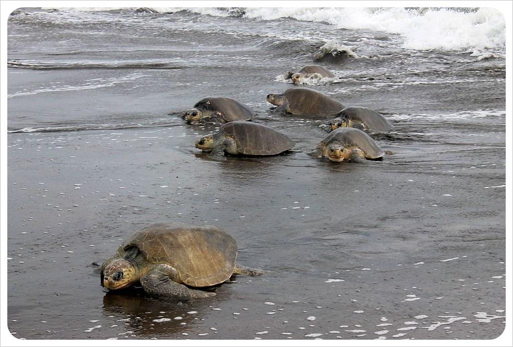 Turtle arribada Ostional