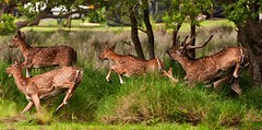 Escabeche de ciervo - Marinated venison