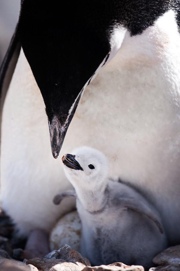 RYALE_Antarctica_Penguins-64