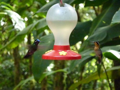 Selvatura Park - hummingbirds - 2
