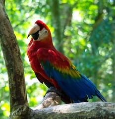 [Free Images] Animals (Others), True Parrots, Red-and-green Macaw ID:201301190600