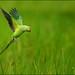 Rose-ringed parakeet @ Talangama Wetlands by GaurikaW