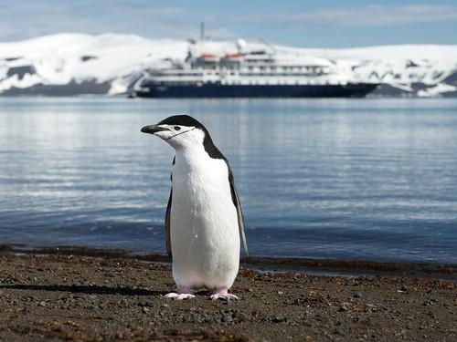 [フリー画像素材] 動物 (その他), ペンギン, ヒゲペンギン ID:201301240400
