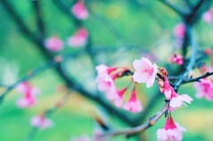[Free Images] Flowers / Plants, Cherry Blossoms ID:201301251200