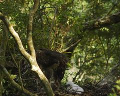 熊鷹獵捕3、4歲大的獼猴亞成體。(攝影:黃永坤)