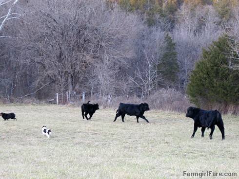 Lucky Buddy Bear, ace cattle dog (2) - FarmgirlFare.com