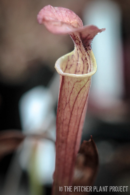 S. (oreophila x 'Royal Ruby') x 'Adrian Slack'