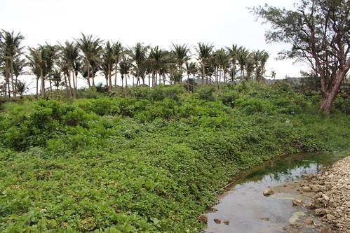 後灣完整的海岸林,可能因飯店開發而受影響。