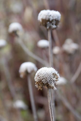 frosty monarda