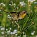 Common Yellowthroat Female by b88harris