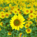 Sunflowers by @esterbf