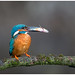 Common Kingfisher (male) - IJsvogel (man) (Alcedo atthis) by Martha de Jong-Lantink