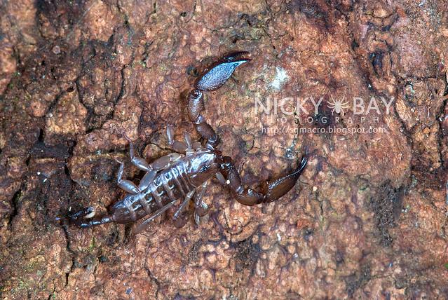 Scorpion (Liocheles australasiae?) - DSC_0726