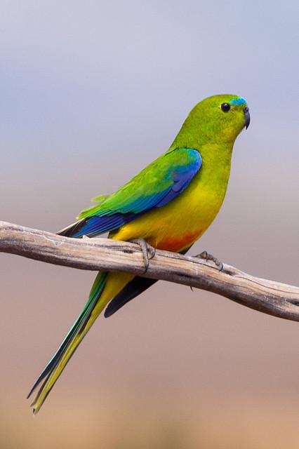 Orange-bellied Parrot  Neophema Chrysogaster