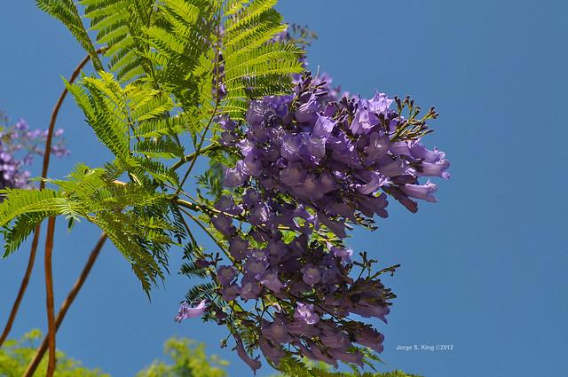 Jacarandá V - Jacaranda mimosifolia